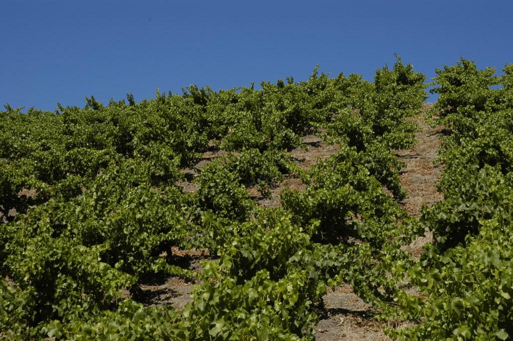 Wills Hills Dry-Farmed Grenache in June 2015