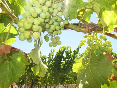 Kingston's look at Grenache clusters