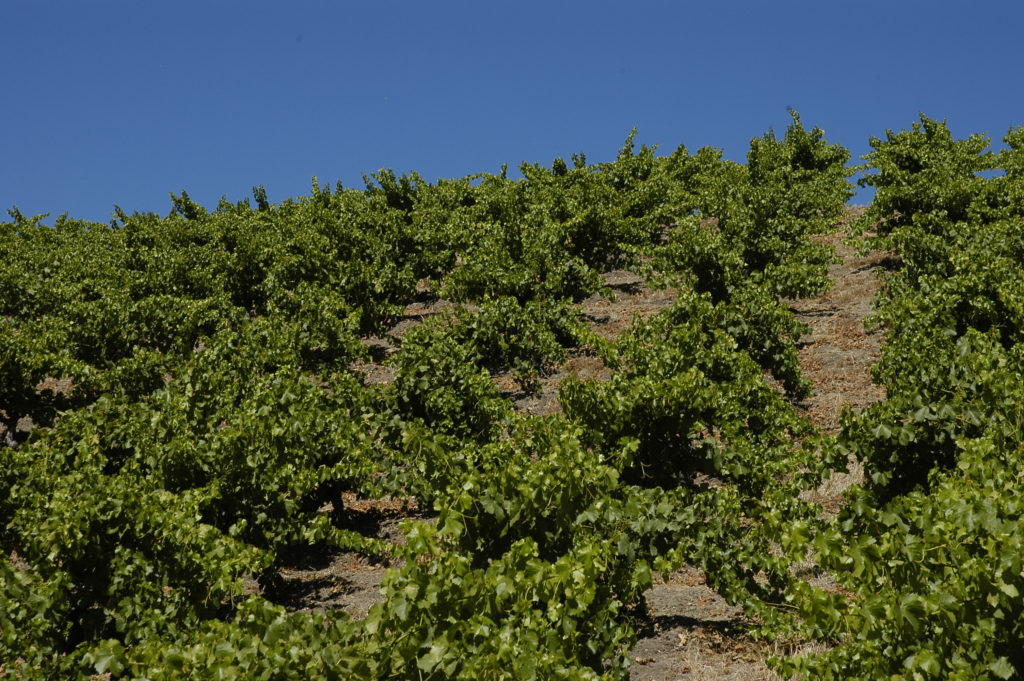 Wills Hills Dry-Farmed Grenache in June 2015