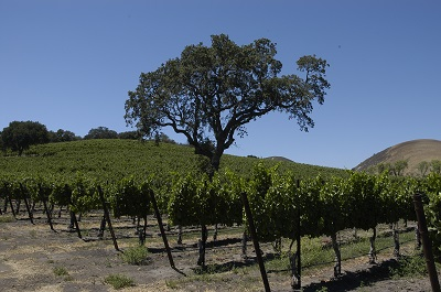 Black Oak Vineyard in Los Alamos